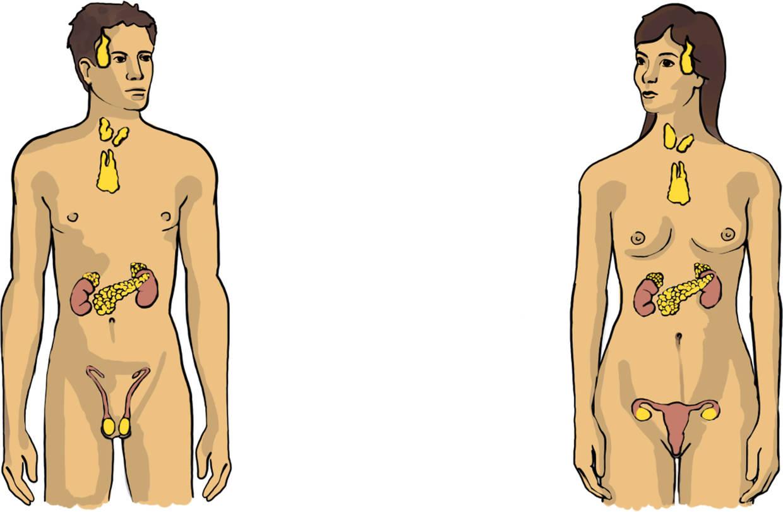 Hormonsystem des Menschen.jpg