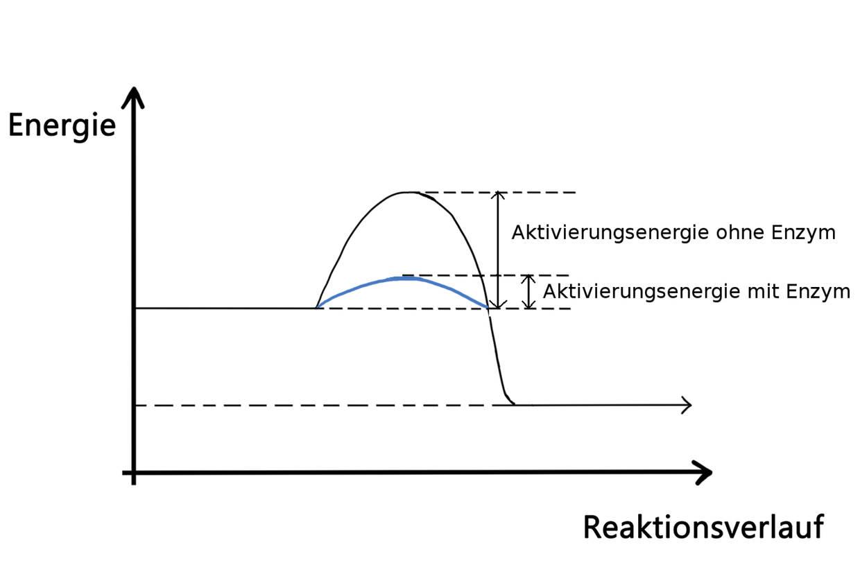 Senkung der Aktivierungsenergie mit Enzymen.jpg