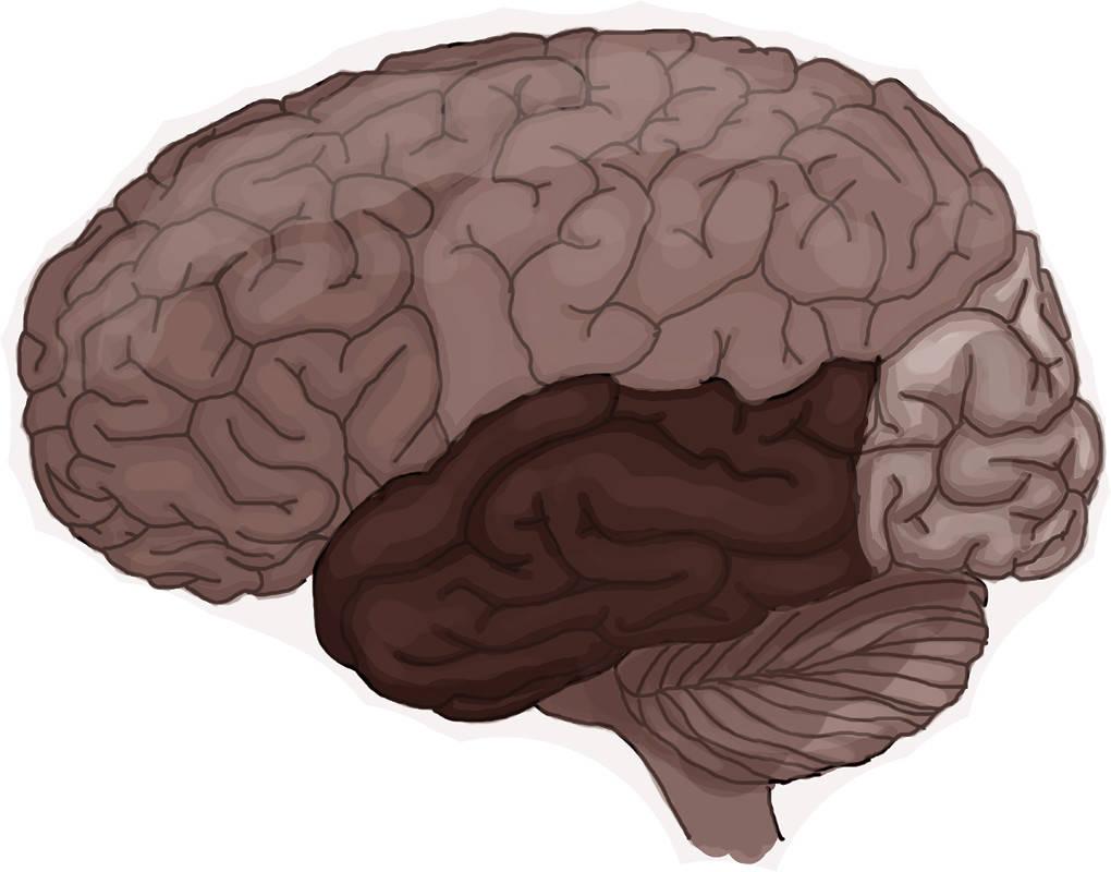 Seitenansicht des menschlichen Gehirns.jpg