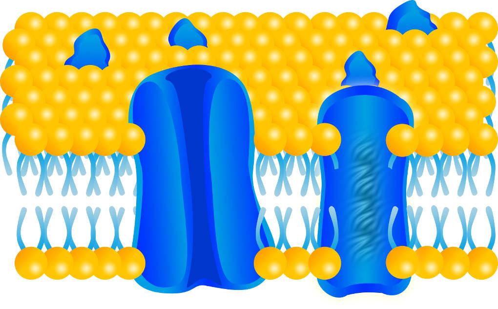 lipiddoppelschicht_Rezeptor_und_Tunnelprotein.jpg