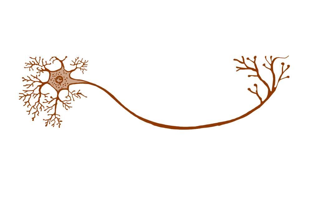 Nervenzelle.png