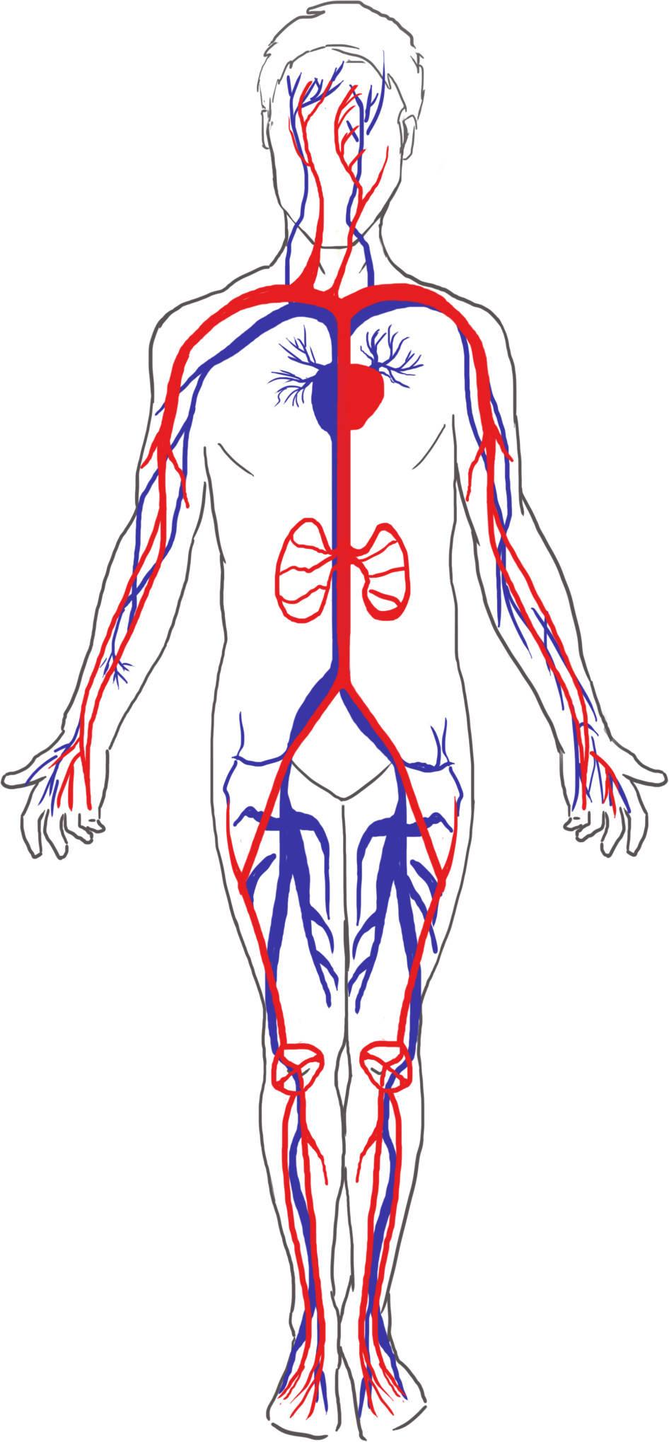 Blut, Blutkreislauf und Ausscheidung online lernen