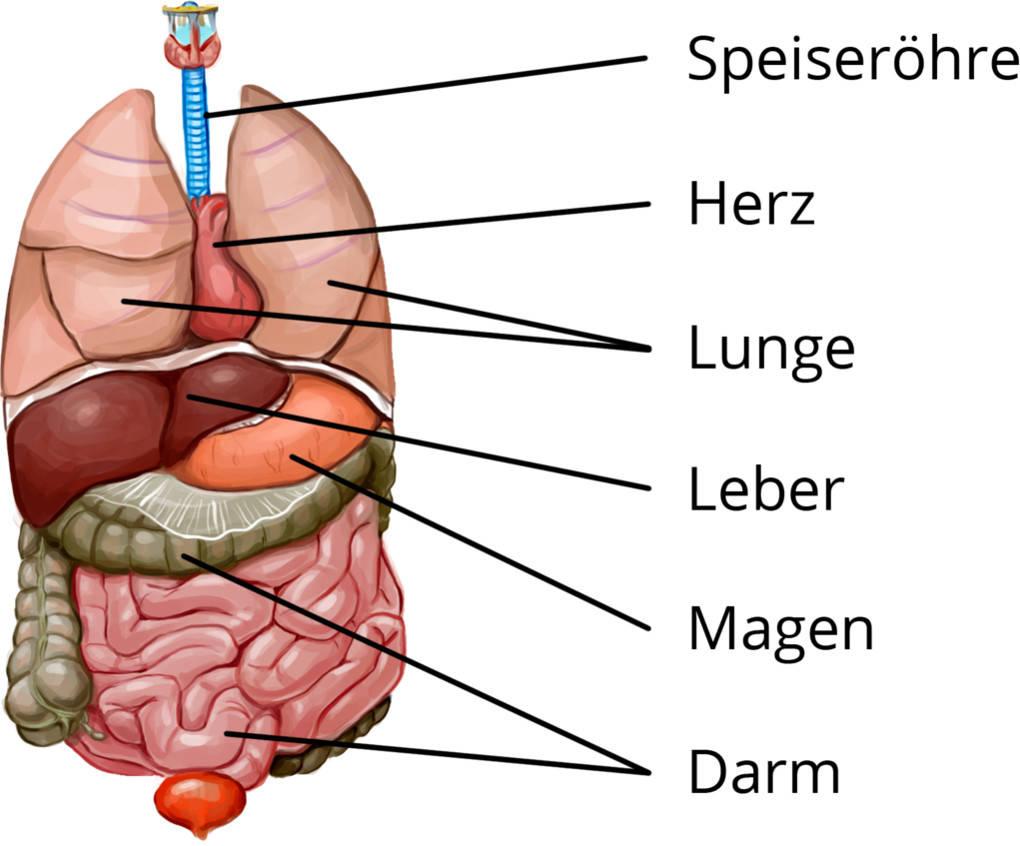 Organe Eines Menschen