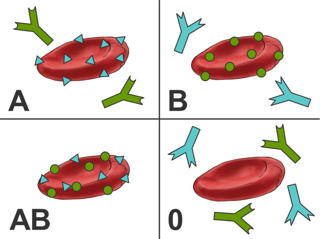 Übersicht_Blutgruppen_Lösung.jpg