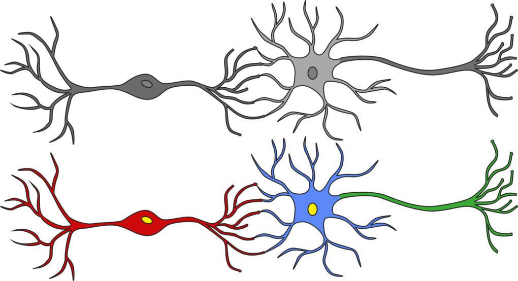 Nervenzelle_Sinneszelle_Axon.jpg