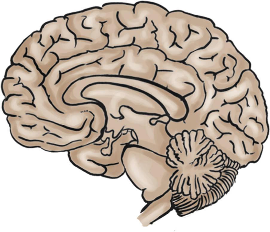 Gehirn.jpg