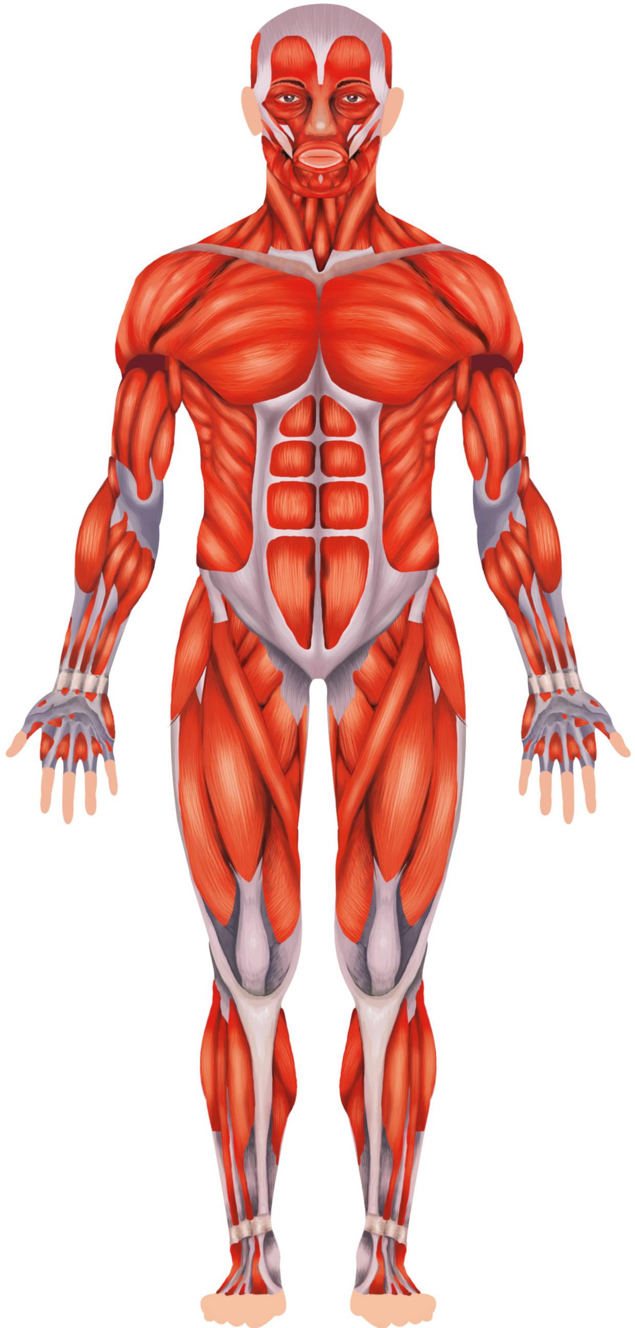 Muskelmensch.jpg