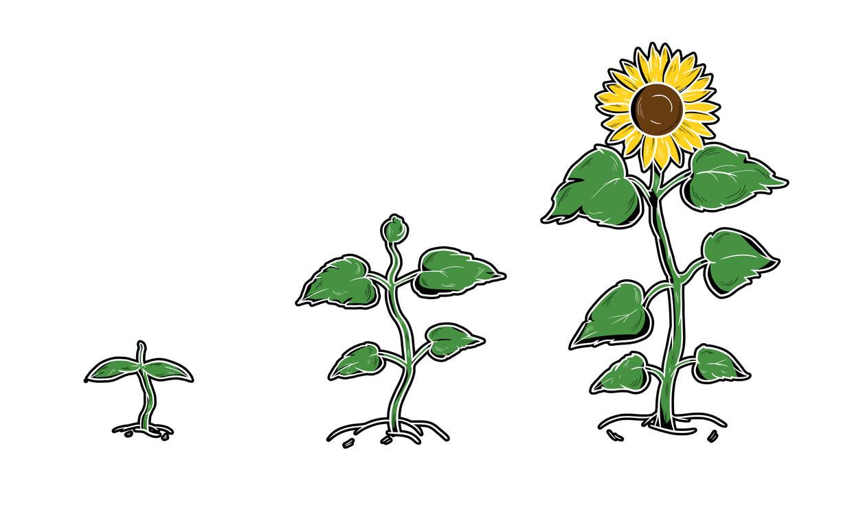 Sonnenblume_-_3_Stufen.jpg