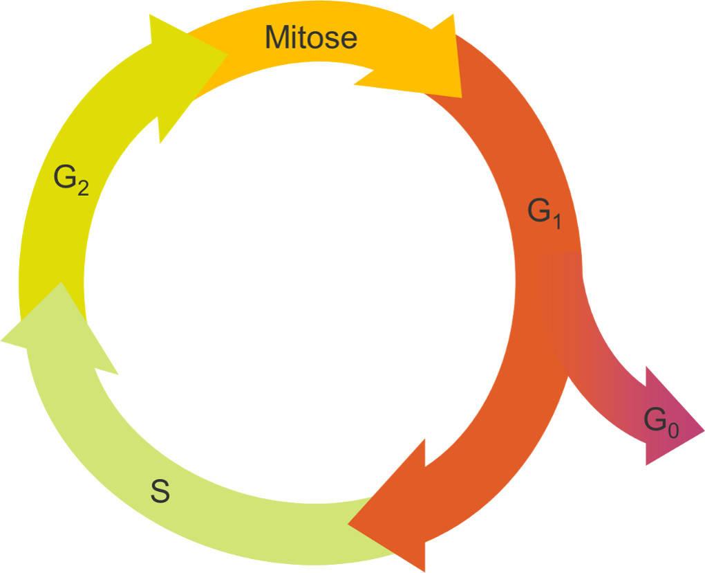 Zellzyklus.jpg