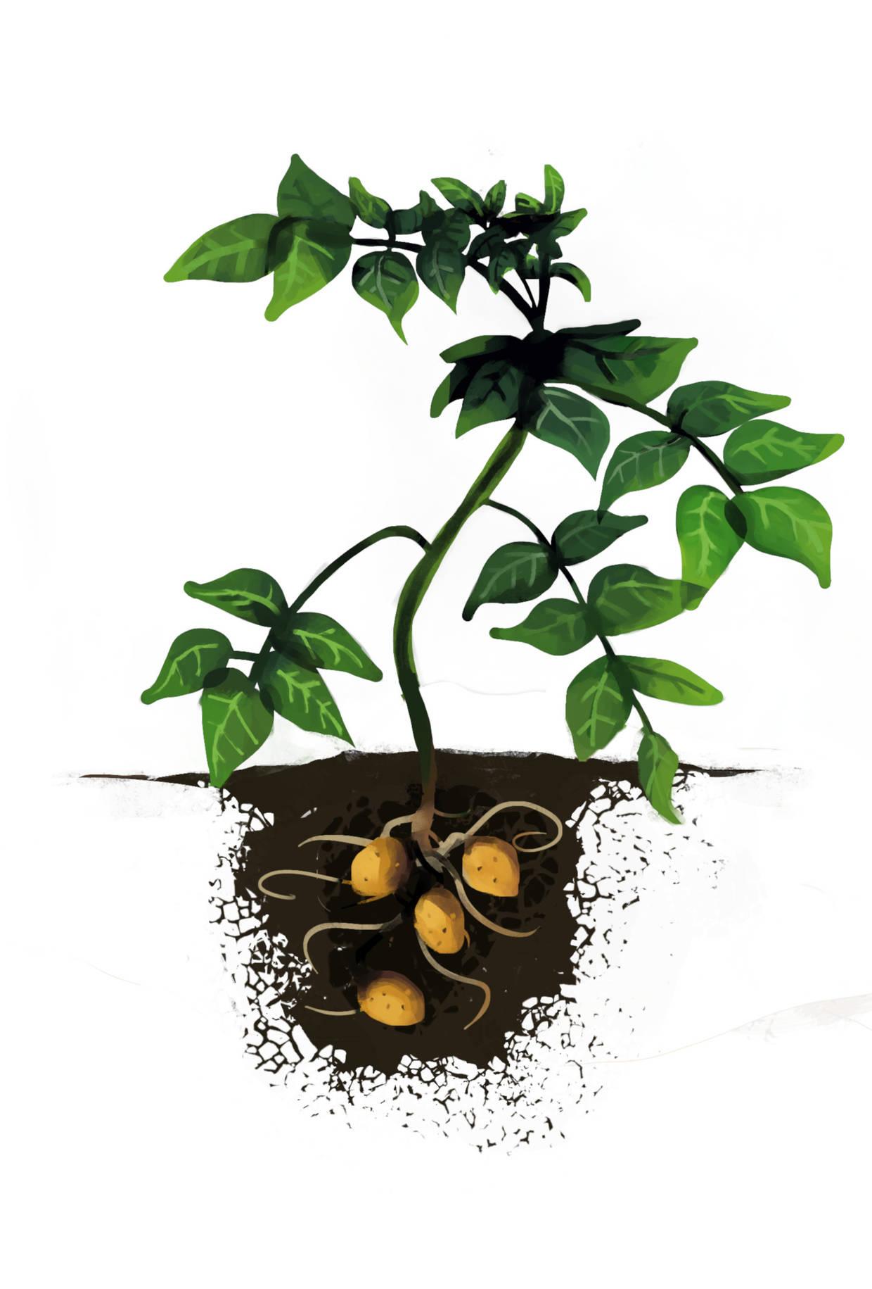 kartoffelpflanze-im_Licht.jpg