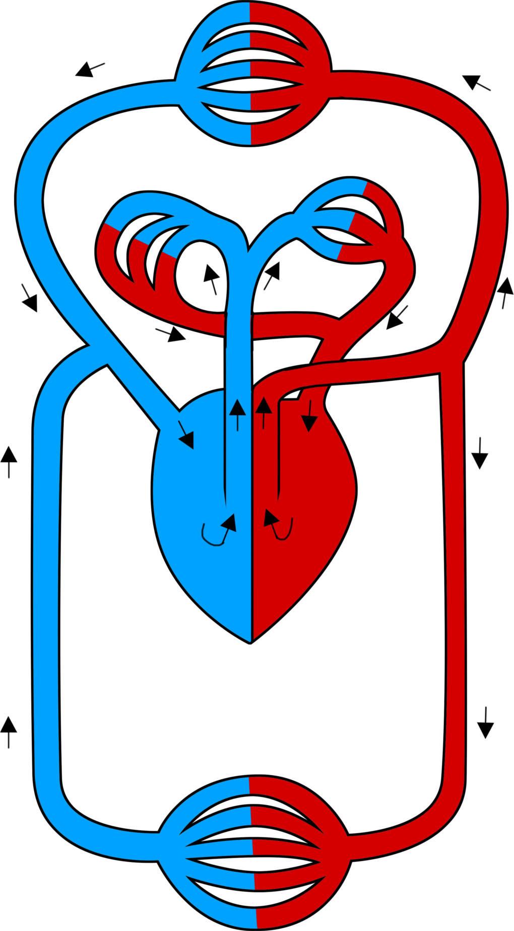 Herz und Blutkreislauf im Überblick online lernen