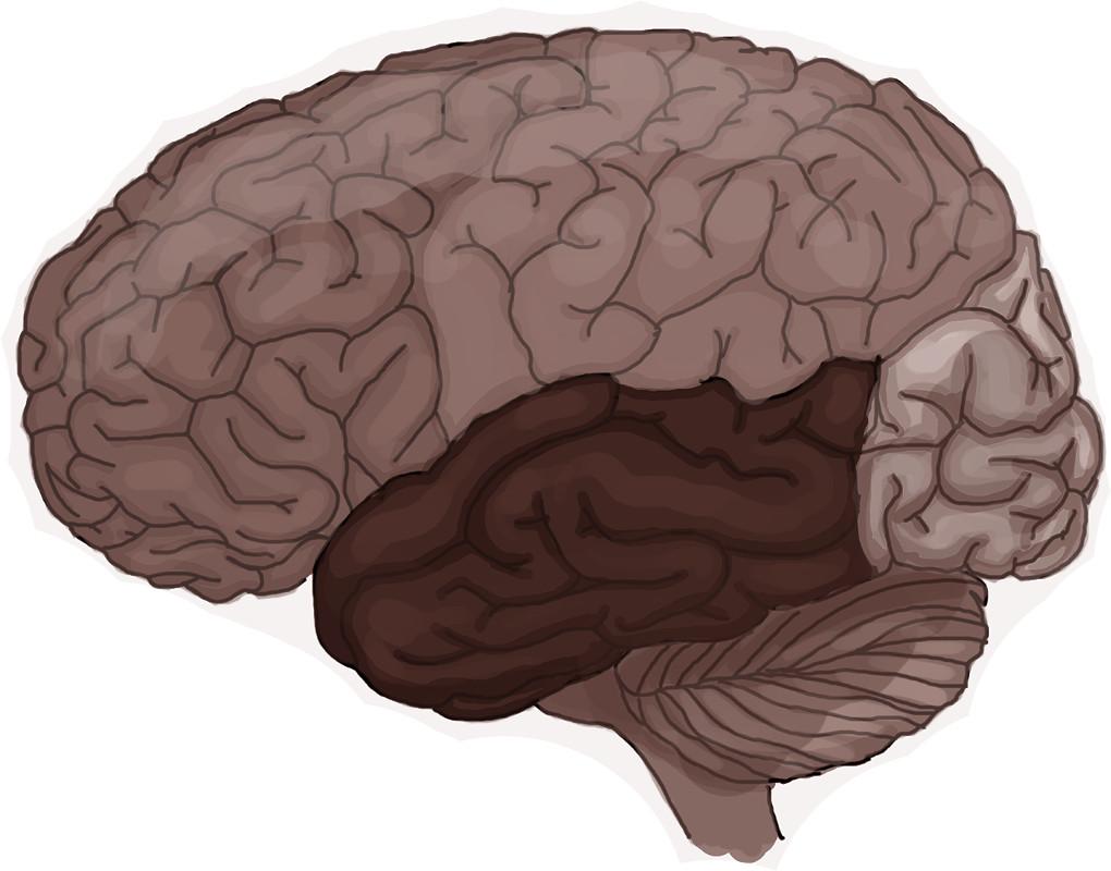 Aufbau_des_Gehirns.jpg