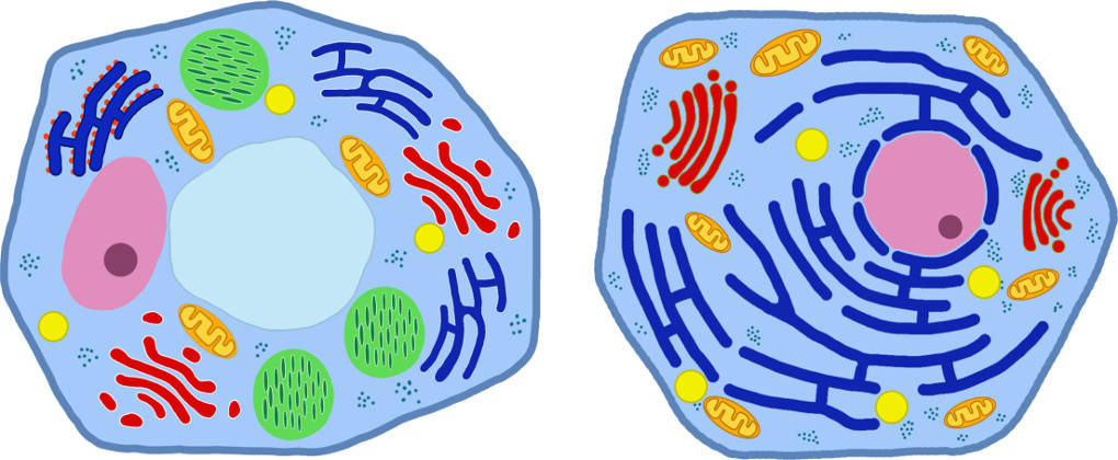 Aufbau: Pflanzenzelle und Tierzelle.jpg