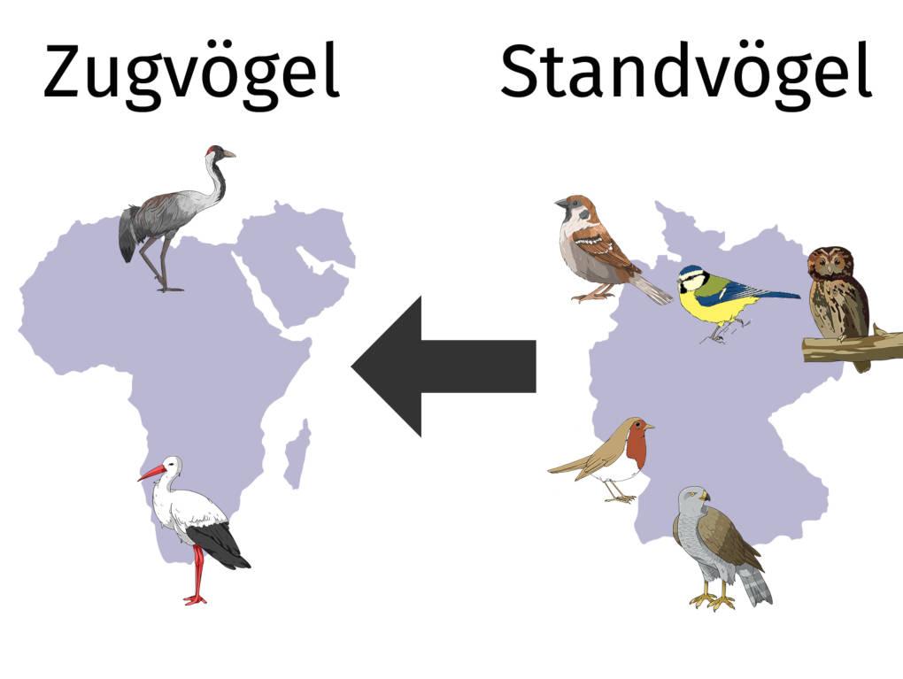 Zug-und Standvögel Übersicht