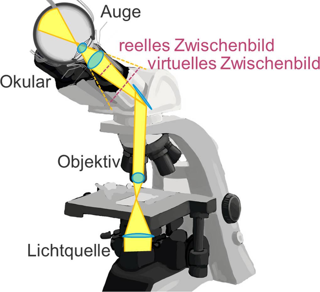 Die Strahlengänge im Mikroskop