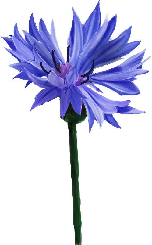Blaue Blume der Romantik