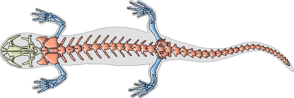 Skelett des Schwanzlurches.jpg
