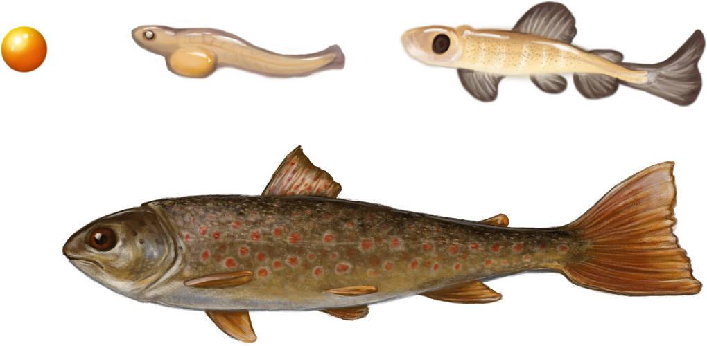 Entwicklung der Fische.jpg