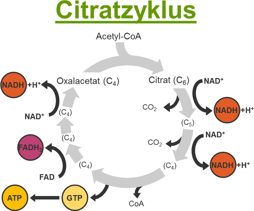 Citratzyklus.jpg