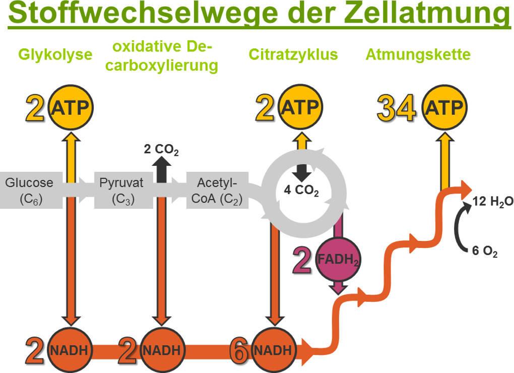 Zellatmung - biochemische Grundlagen online lernen