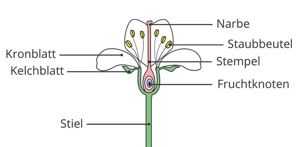 Schaubild zum Aufbau der Blüte