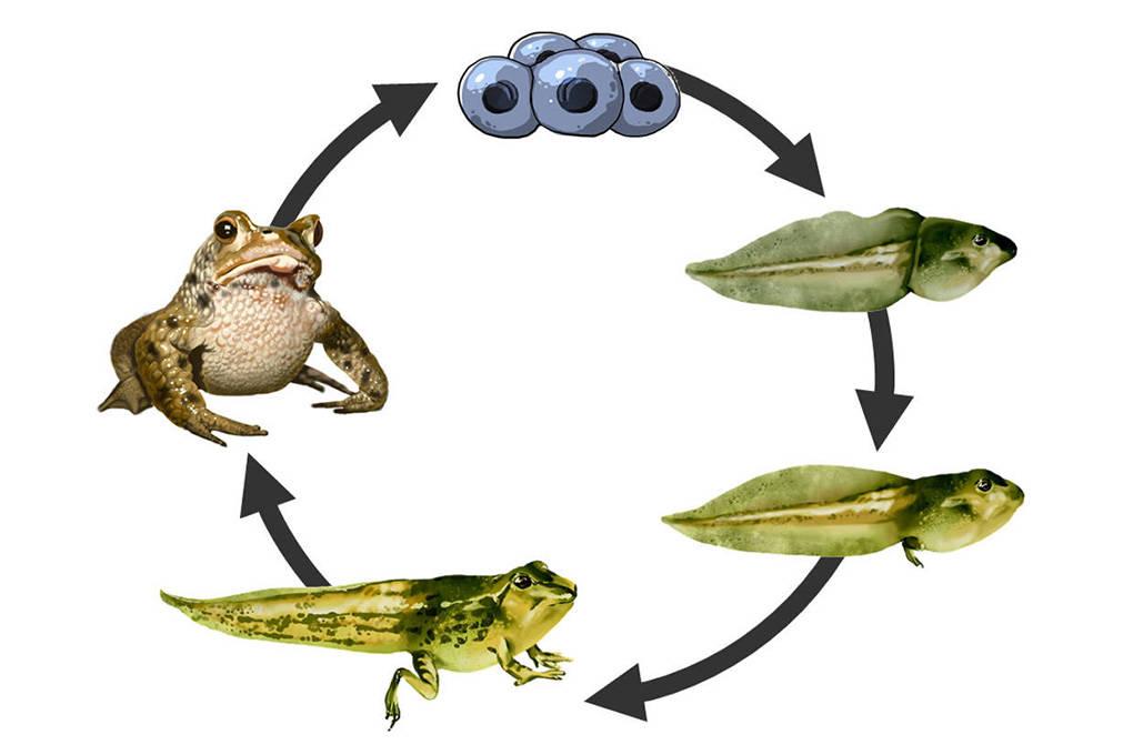 Metamorphose des Froschs