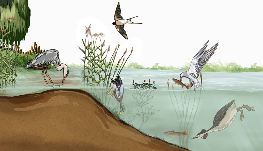unterschiedliche-oekologische-nischen-von-voegeln-im-oekosystem-see