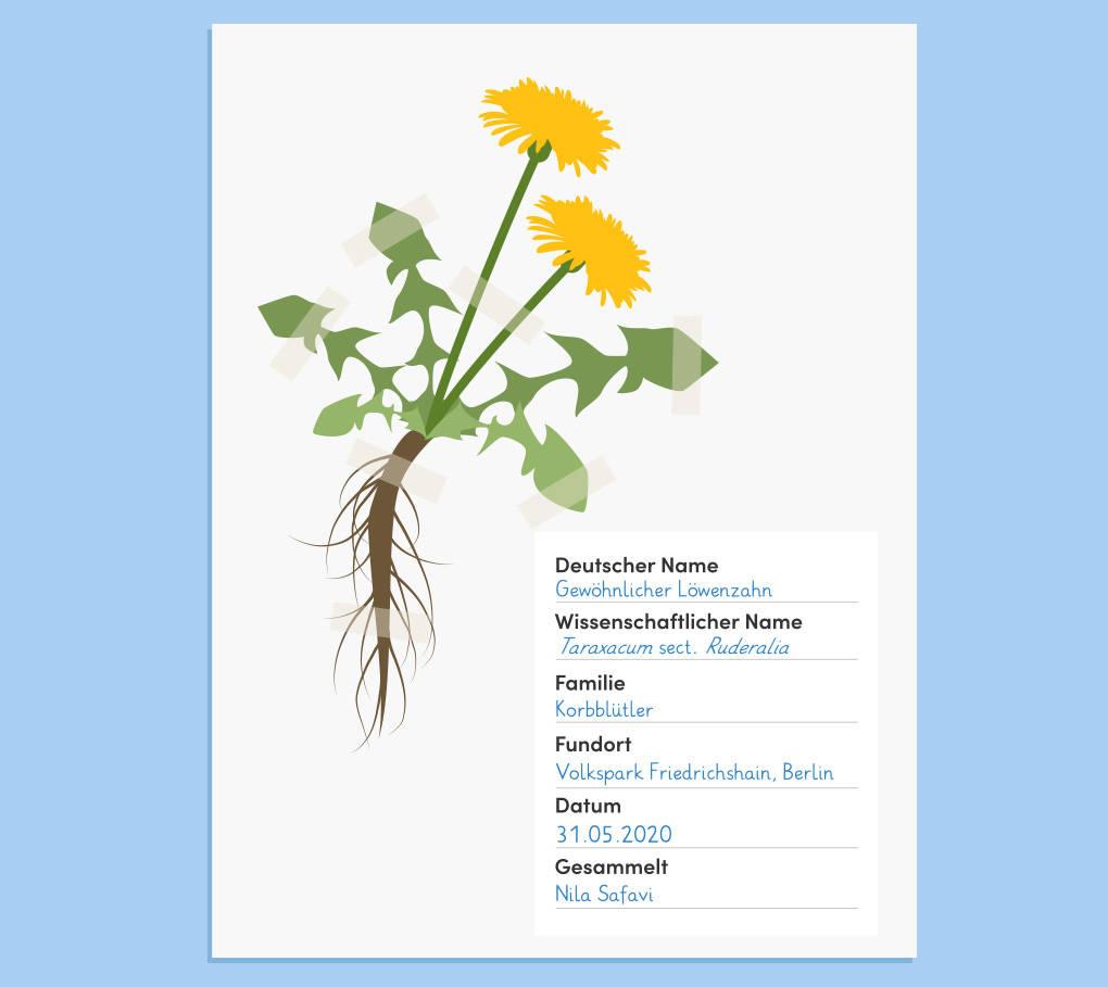 herbarium-herbabogen-loewenzahn.jpg