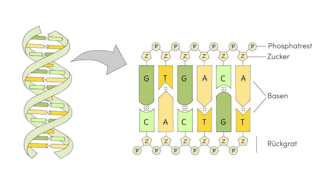 Bestandteile der DNA Biologie