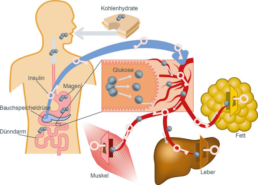 Die Schlüssel-Funktion des Insulins bei der Regulation des Blutzuckerspiegels.jpg