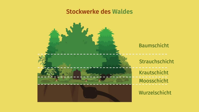 Stockwerke des Waldes einfach erklärt inkl. Arbeitsblatt – Klasse 20+20