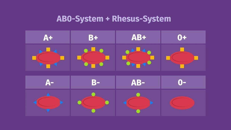 Blutgruppen AB0-System und Rhesusystem