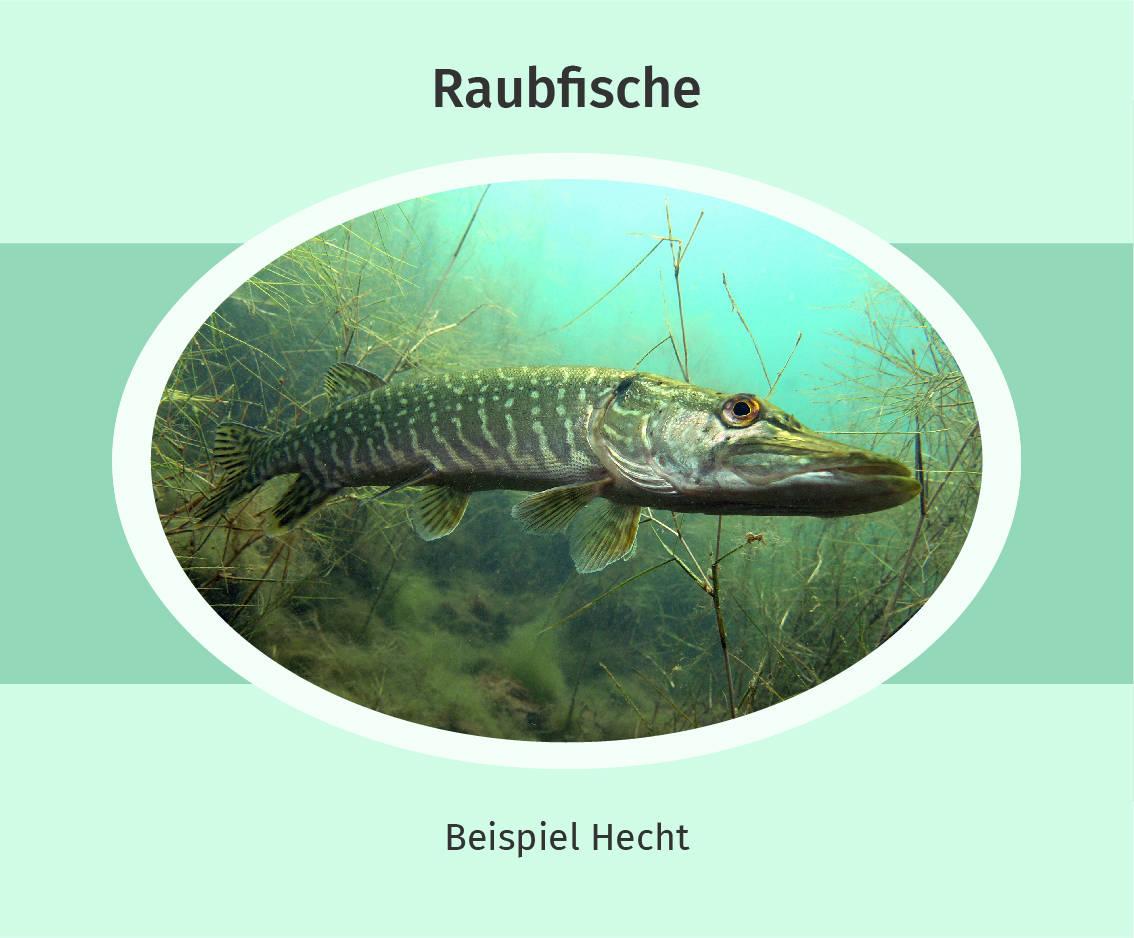Raubfisch Beispiel Hecht