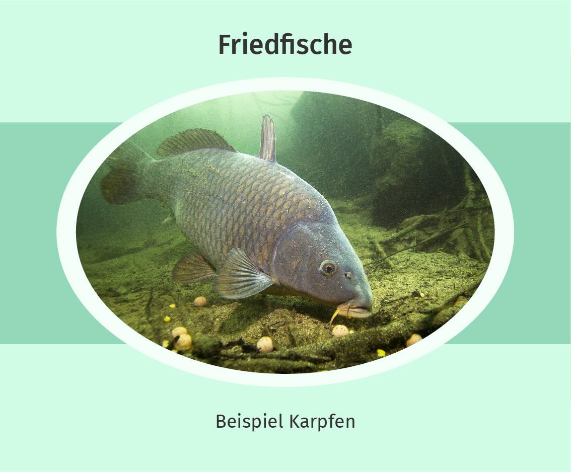 Friedfisch Beispiel Karpfen
