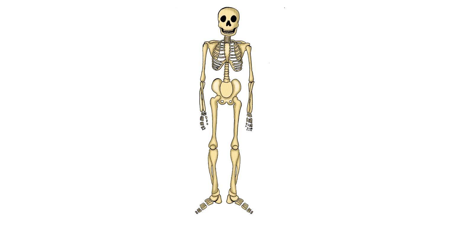 Atemberaubend Das Skelett Zeitgenössisch - Menschliche Anatomie ...
