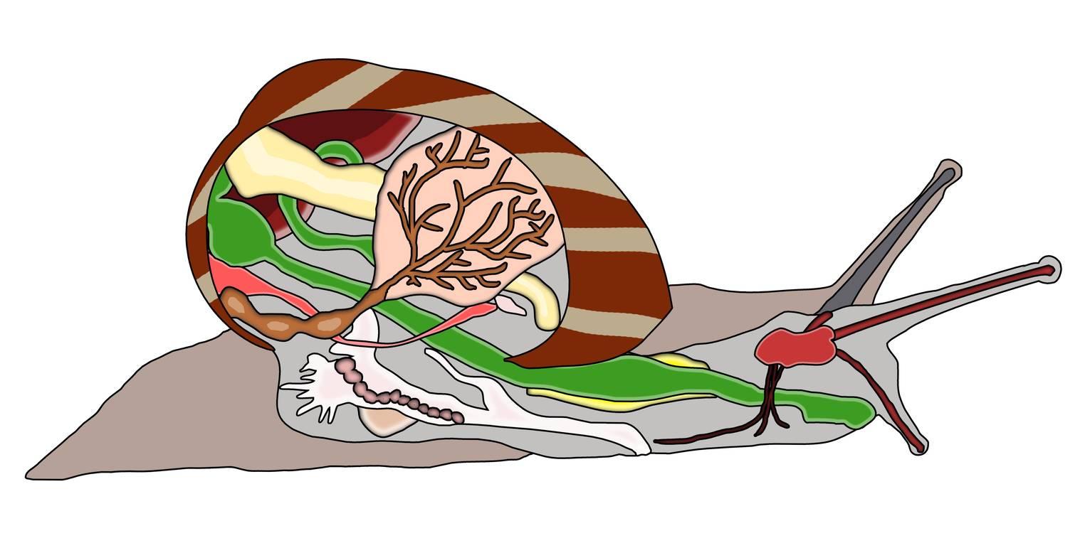 Schnecke – innerer und äußerer Bau (Übungen & Arbeitsblätter)