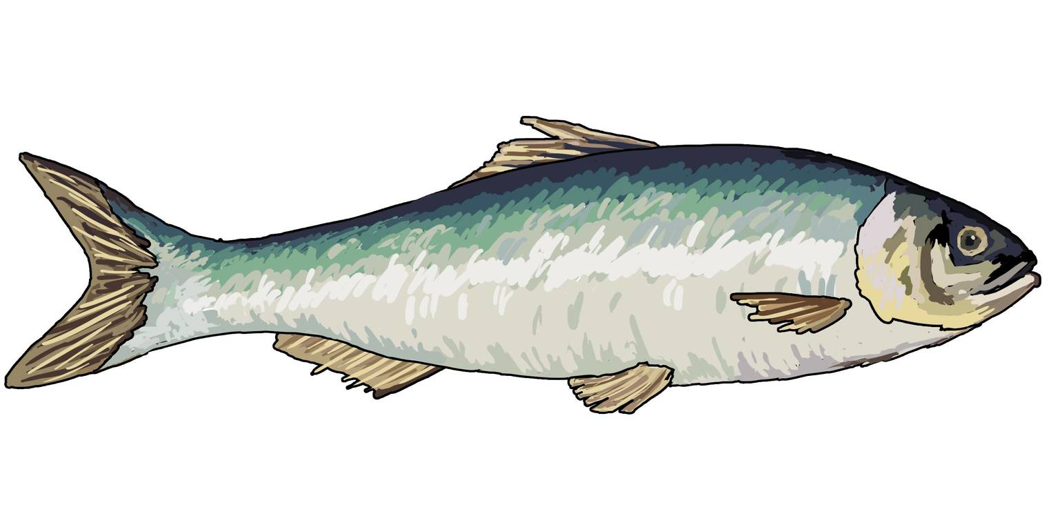 Fische – äußerer Bau (Übungen & Arbeitsblätter)