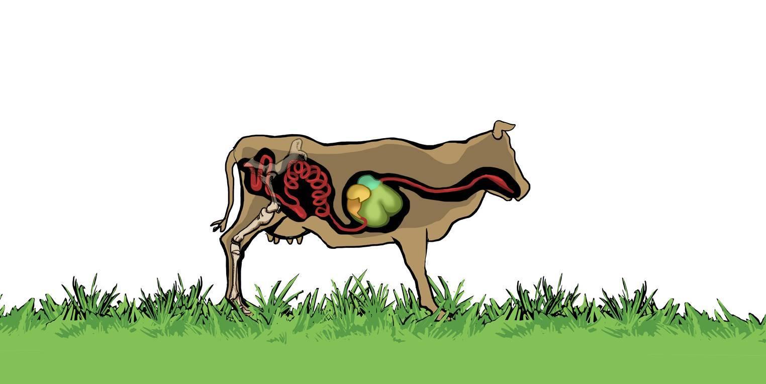 Ungewöhnlich Anatomie Der Kuh Galerie - Menschliche Anatomie Bilder ...