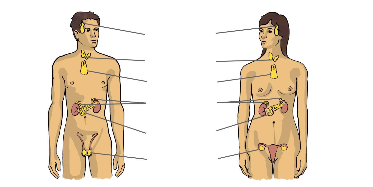 Hormonsystem des Menschen (Übungen & Arbeitsblätter)