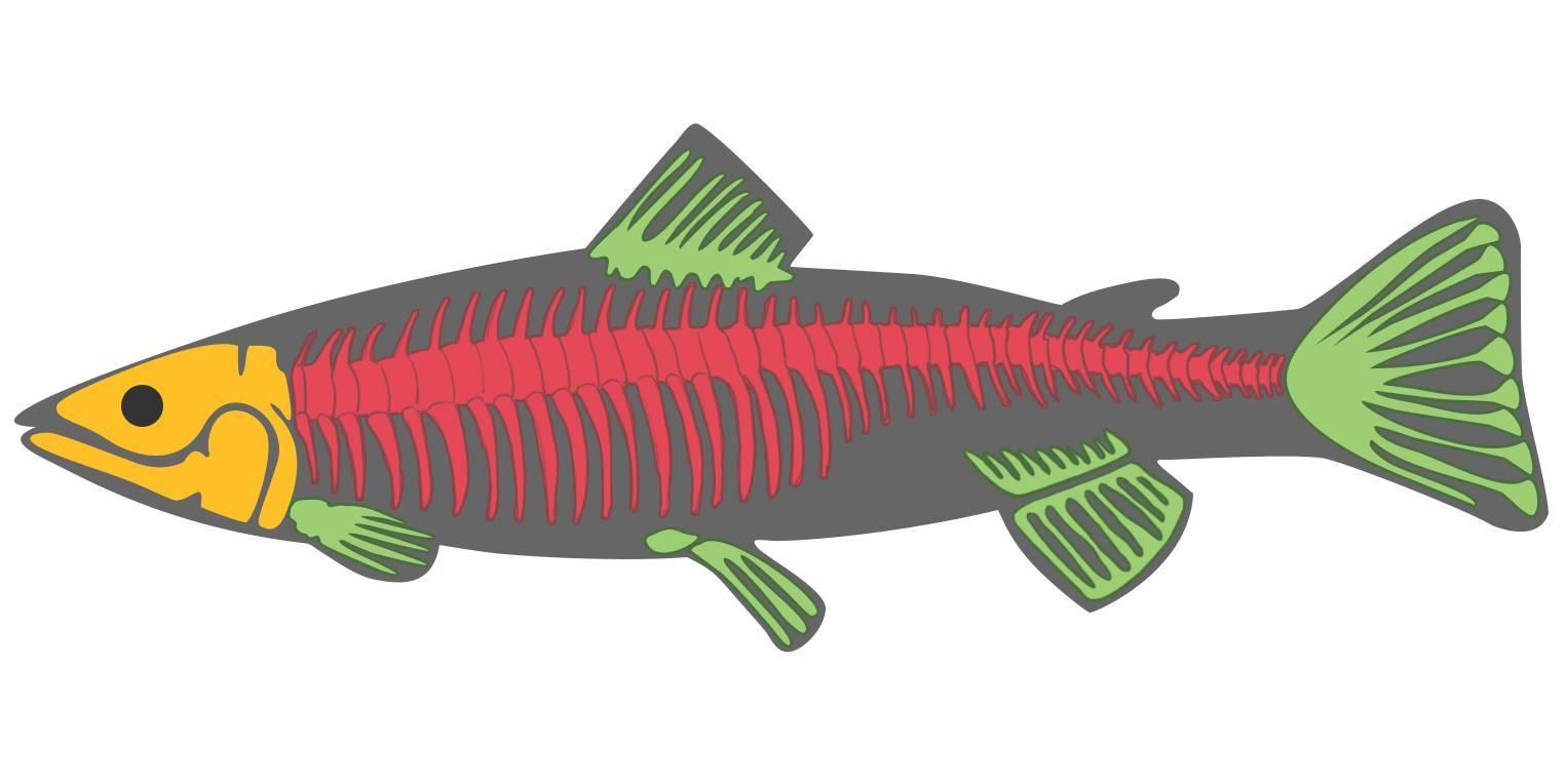 Skelett der Fische (Übungen & Arbeitsblätter)