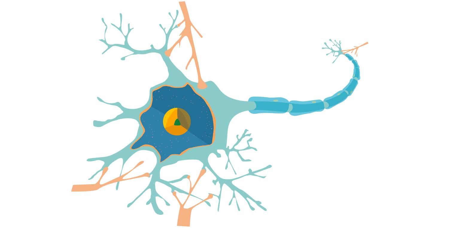 Nervenzelle – Bau und Funktion (Übungen & Arbeitsblätter)