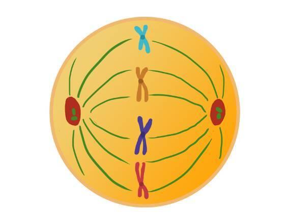 Mitose – Ablauf der Zellteilung (Übungen & Arbeitsblätter)