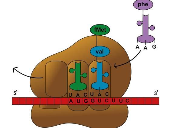 Transkription und Translation – vom Gen zum Protein (Übungen ...