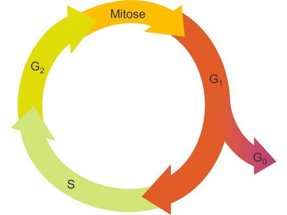 Grundlagen der Mitose (Übungen & Arbeitsblätter)