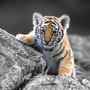 Ipad 15871 animals tiger baby tiger