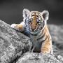 Ipad 15871 animals tiger baby tiger
