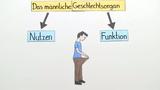 Das männliche Geschlechtsorgan