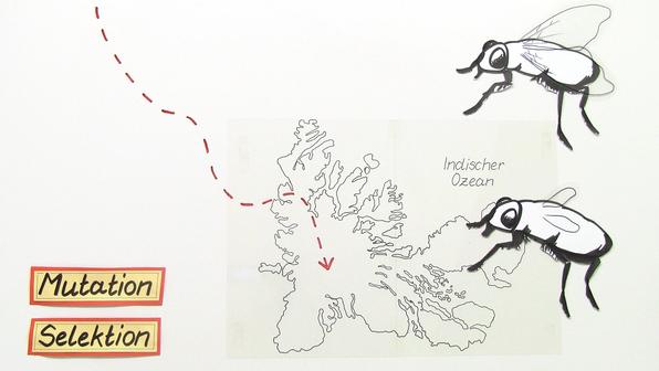 11165 mutation und selektion am beispiel der kerguelen fliege.standbild001