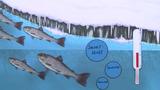 Bachforelle – Lebensraum und Verhalten