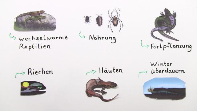 Eidechsen – Lebensweise der Zauneidechse